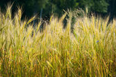 Gold wheat — Stock Photo