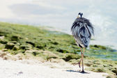 Grey Heron stands on the beach — Stock Photo