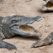 Aggressive Crocodile — Stock Photo