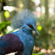 Exotic Bird Goura Victoria — Stock Photo #35406095