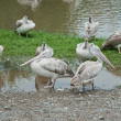 Group of White Pelicans — Stock Photo #35406369