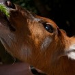Little deer eats — Stock Photo #35406591