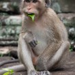 Monkey with leaf in her mouth  — Stock Photo