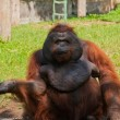Orangutan in a zoo — Stockfoto