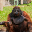 Orangutan in a zoo — Stock Photo