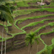 Plantation of Rice terraces — Stock Photo