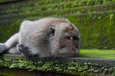 Monkey lie on the stone — Стоковое фото
