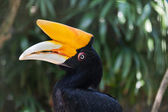 Portrait of Hornbill bird — 图库照片