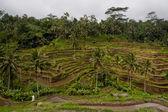 Rice terraces view — Стоковое фото