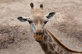 Junge giraffe — Stockfoto