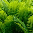 Shrubs fern — Stock Photo