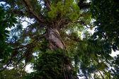 Albero della giungla — Foto Stock