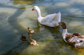 Family of ducks floating on river — Stock Photo
