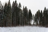 Forest at winter — Stock Photo