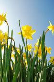 Soaring daffodils — Stock Photo