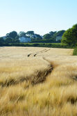 Cornwall wheat field — Stock Photo