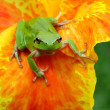 Hyla tree frog on a flower challenging — Stock Photo