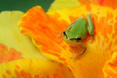 Hyla tree frog on a flower — Stock Photo
