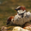 Passer domesticus sparrow bathing in a riverside — Stock Photo