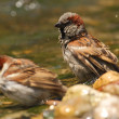 Passer domesticus sparrows bathing in a riverside — Stock Photo