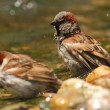 Passer domesticus sparrows bathing in a riverside - Stock Photo