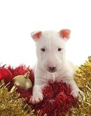 White bull terrier puppy with chrstmas balls and garlands — Zdjęcie stockowe
