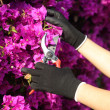 Gardener hands with gloves cutting flowers with secateurs — Stock Photo
