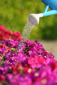 Water can watering a beautiful pink flowers — Stock Photo