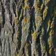 Old Poplar Bark With Lichen — Stock Photo