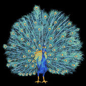 Peacock, — Stock Photo