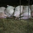 Sleeping pigs in a row in a stable on a biological farm — Stock Photo