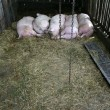 Sleeping pigs in a row in a stable on a biological farm - Stock Photo