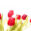 Red tulips on a white background — Stock Photo