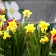 Daffodils on flower bed flower bed - Stock Photo