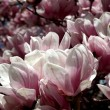 Magnolia tree in bloom — Stock Photo