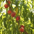 Peach on peach tree - Stockfoto