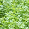 Fresh parsley growing in a garden - Stockfoto