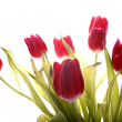 Stock Photo: Red tulip on white backgroud