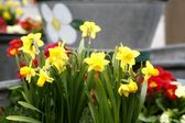 Daffodils on flower bed flower bed — Stock Photo