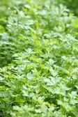 Fresh parsley growing in a garden — Stock Photo