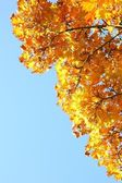 Autumn leaves under a sunny blue sky — Stock Photo
