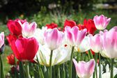Tulips in a flowerbed — Stock Photo