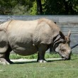 Rhino -  