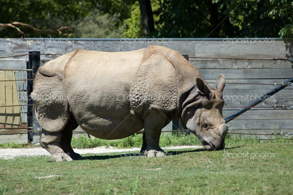在动物园犀牛– 图库图片