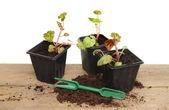 Begonia seedlings — Stock Photo