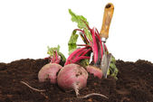 Harvested beetroot — Stock Photo