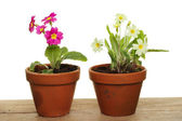 Primrose plants — Stock Photo