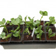 Seedlings in a tray — Stock Photo