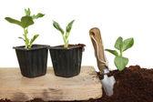 Planting beans — Photo