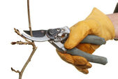 Secateurs pruning — Stock Photo